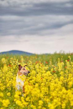 Collie. By Mattphoto.