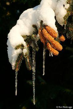 winter spruce tree