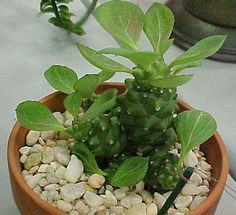 Monadenium richeii