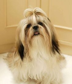 Shih Tzu dog with gorgeous hair and beautiful appearance, small size, smart, very gentle Shih Tzus, Shih Tzu Dog, Lion Dog, Dog Cat, King Charles, Hypoallergenic Dog Breed, Toy Dog Breeds, Fluffy Dogs, Funny Dog Pictures