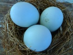 Wheaten/Blue Wheaten Ameraucana eggs... #chickens  #poultry  #hatching eggs