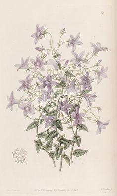 019-campanula loeflingii, Loefling's Bellflower   ...