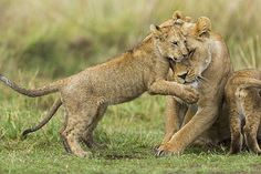 Kenya, Masai Mara national reserve, lion (Panthera leo), female and cub playing  Date : 31/10/2012 Credit : DENIS-HUOT Michel / hemis.fr