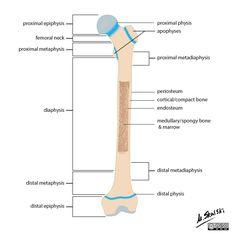 Bone terminology diagram | Radiology Case | Radiopaedia.org