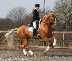 """Stunning! His name is Treliver Decanter aka """"Derek""""…A 10 year old British Warmblood breeding stallion by Dimaggio…ridden by Matthew Burnett…this photo was taken in England…while Derek was warming up for a competition…at Prix St Georges level."""
