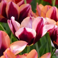 Tulipe+Triomphe+Muvota