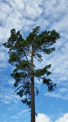 A lonely pine.