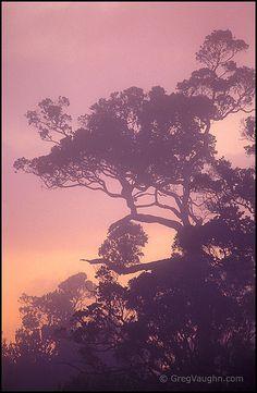 Ohia trees and fog at sunset in native Hawaiian tree species tropical rainforest at Kokee State Park, Kauai, Hawaii.