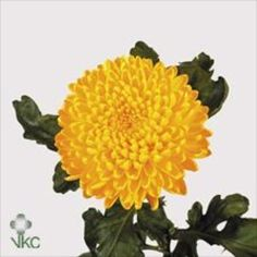 Chrysanthemum Blooms Migoli are a yellow, disbudded, single headed cut flower variety. 65cm tall & wholesaled in 10 stem wraps.