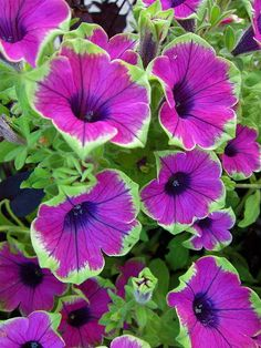 Variegated Petunias Print By Georgia Hamlin