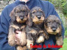 teckel poil dur Wire Haired Dachshund, Dachshund Puppies, Dogs And Puppies, Scottish Terrier, New Puppy, Puppy Love, Animals And Pets, Cute Animals, Miss My Dog