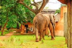 'Yale' one of the regular elephants that visits us coming down to eat some pods in the lodge grounds. Elephants, Destinations, Luxury, Eat, Animals, Animales, Animaux, Travel Destinations, Viajes