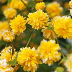 Vente directe Kerria Japonica, arbustes à floraison printanière. Corête du japon. Arbuste vigoureux de 1,5 m de hauteur qui s'adapte à tous les sols. Magnifiques fleurs doubles jaunes en forme de pompons en avril/mai.