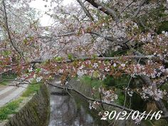 京都 哲学の道 桜 2012/04/16