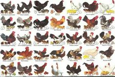 Best chicken breeds 12 types of hens that lay lots of eggs all