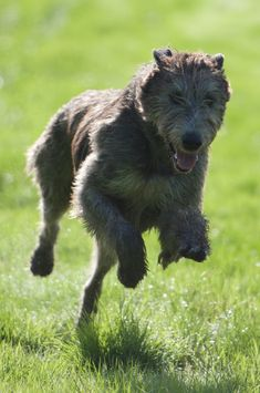 Animals Beautiful, Cute Animals, Irish Wolfhound Dogs, Pregnant Dog, Dog Breeds, Dogs And Puppies, Pregnancy Stages, Pure Beauty, Sun Moon