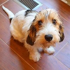 """A loose translation of this breed's name describes the dog well: """"Petit"""" meaning small, """"Basset"""" meaning low, """"Griffon"""" meaning shaggy, and """"Vendéen"""" referencing the Vendée region of France. Put it all together and you have the Petit Basset Griffon Vendee Petit Basset Griffon Vendeen, Griffon Dog, Cute Puppies, Cute Dogs, Dogs And Puppies, Doggies, Funny Animals, Cute Animals, Dog Grooming Shop"""