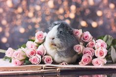 Pink Roses Photoshoot - Story of a guinea pig