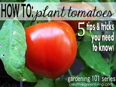 Gardening 101: How to Plant Tomatoes ~ Creative Green Living