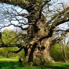 """Majesty"" Oak in Fredville Park, in Nonington (Grafschaft Kent) - Bild von Tim B, Tree Houses Uk, Giant Tree, Unique Trees, Old Trees, Tree Trunks, Nature Tree, Tree Forest, Sequoia Sempervirens, Tree Art"
