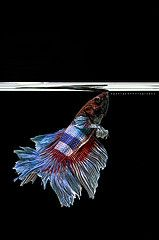 Fighting Fish : Clipping path included (9george) Tags: blue red pet white fish motion black hot art nature beautiful beauty fashion animal monster vertical swim mouth dark fire idea aquarium design fight dragon power dress image expression decorative background magic creative grand hobby flame exotic domestic thai hero fancy tropical bite beast knight concept elegant aggressive fin betta crowntail decor petshop luxury excite isolated siamesefightingfish