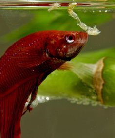 BETTAS ARE CARNIVORE.....Bettas eat meat. Those kept as pets are typically fed freeze-dried bloodworms that are available at any pet store. In the wild, bettas feast on bloodworms, shrimp, and insects like crickets, flies or even grasshoppers