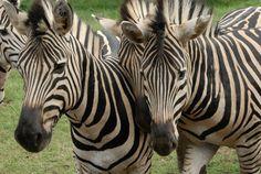 #Mauritius #wildlife #zebra #travel #wanderlust #safari Mauritius, Travel Inspiration, Safari, Wildlife, Wanderlust, Animals, Animales, Animaux, Animal