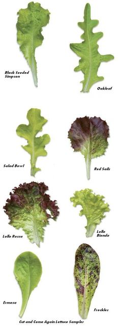 Lettuce - all shapes, patterns, and flavours! Cut and Come Again Lettuce Sampler Vegetable Garden, Garden Plants, Outdoor Plants, Organic Gardening, Gardening Tips, Types Of Lettuce, Growing Lettuce, Growing Veggies, Backyard Projects