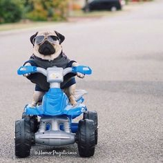 Cool pug on wheels