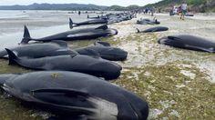 Andrew Lamason, director regional del Departamento de Conservación, admitió que el panorama era sombrío, porque la mayoría de las más de 100 ballenas que habían sido reflotadas con la marea alta habían regresado y vuelto a encallar.