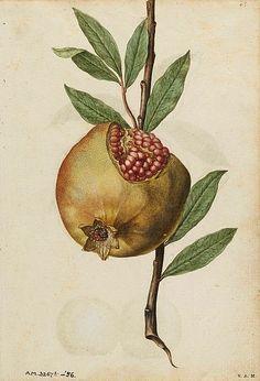 Jacques Le Moyne de Morgues  Pomegranate   1575