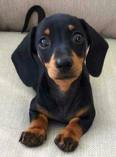 Dachshund puppy eyes - Cats and Dogs House Dachshund Breed, Mini Dachshund, Daschund, Black Dachshund, Funny Dachshund, Weenie Dogs, Pet Dogs, Pets, Doggies