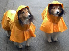 Ready for the Rain...My Riley doesn't like his raincoat much...but he will wear it for me! :)