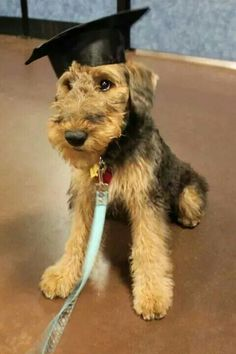 Smartest puppyboy in the world ! Best Puppies, Best Dogs, Dogs And Puppies, Doggies, Puppy Care, Pet Puppy, Online Pet Supplies, Dog Supplies, Airedale Terrier