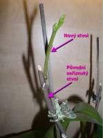 původní a nový květní stvol