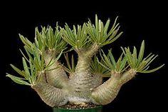 Pachypodium rosulatum v gracilius