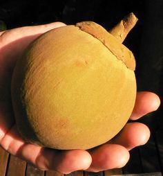 Rare Fruit Zapote Ecuador