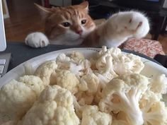 The Nefarious Mr. Sugar Paws caught red-handed trying to steal some raw cauliflower which is inexplicably one of his favorite foods to nom. by a2gemma cats kitten catsonweb cute adorable funny sleepy animals nature kitty cutie ca