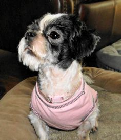 New Beginnings Shih Tzu Rescue (IN) #Indianapolis, #Indiana -- Kookie was a severely neglected Shih Tzu mix that was found after his owner passed away.  He has come a long way toward healing and learning to trust humans since being in rescue, but he still has some fear issues that we are working through. Kookie...