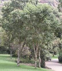 Heteropyxis natalensis – Lavender tree – Laventelboom Indigenous to South Africa, the pretty Heterop African Tree, African Plants, Garden Trees, Trees To Plant, Garden Maintenance, Mediterranean Garden, Woodland Garden, Deciduous Trees, White Gardens
