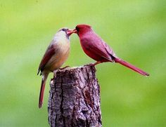 Cardinals.  They have an adorable chirp and are very affectionate with their mates.