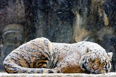 A tiger resting outside being covered with falling snow.