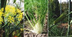 Fennel is a versatile garden gem that's easy to grow with few pests and diseases. Learn what you need to know about growing fennel. Veg Garden, Fruit Garden, Lawn And Garden, Garden Plants, Tomato Trellis, Tomato Cages, Growing Fennel, Fig Varieties, Growing Blueberries