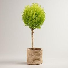 One of my favorite discoveries at WorldMarket.com: Live Cypress Cone Tree in Burlap