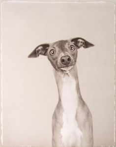 Whippet or Italian greyhound Cute Creatures, Beautiful Creatures, Animals Beautiful, I Love Dogs, Puppy Love, Cute Dogs, Funny Animals, Cute Animals, Whippets