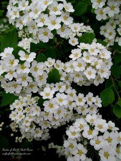Spirea Snowmound ~ Spring Blooming Shrub (Garden of Len Barb Rosen) Garden Shrubs, Shade Garden, Garden Beds, Trees And Shrubs, Trees To Plant, White Flowers, Beautiful Flowers, May Garden, Shade Perennials