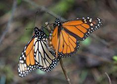 In this Jan. 4, 2015 photo, Monarch butterflies climb up a twig, at the Piedra Herrada sanctuary, ne... - AP Photo/Rebecca Blackwell