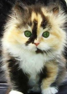 Super fluffy calico kitten is sooooo cute!! Kittens are the cutest, my childhood kitty was a calico, Mewmew.♡♡♡