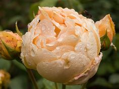 Jude The Obscure - David Austin rose..one of my favorites in my garden..have several of them. They smell like grapefruit