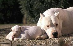 Dogo Argentino Mom caring her puppy ! Dogo Argentino Dog, I Love Dogs, Cute Dogs, Boxer, Animals And Pets, Cute Animals, Real Dog, Bully Dog, Beautiful Dogs